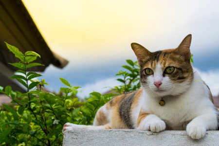 Fat Thai cat lying on a wall near a tree in the house before sunset.