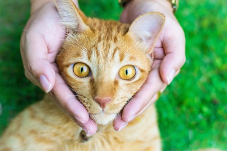 Cat eyes with female hands on lawn in home  using wallpapers or background for animals work Stock Photo
