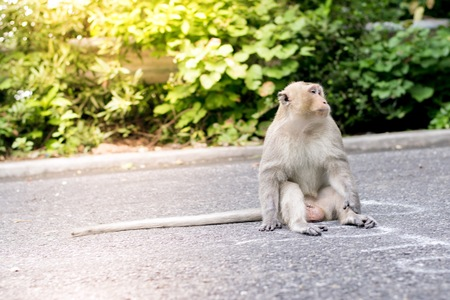 Monkey on the road in the city along the way with trees background.  Using for wallpaper or animal work foto . Stock Photo