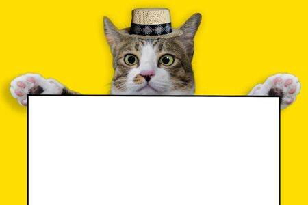 Thai cat smile weat hat on yellow isolated background for animal image