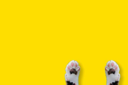 Hands Thai cat smile weat hat on yellow isolated background for animal image