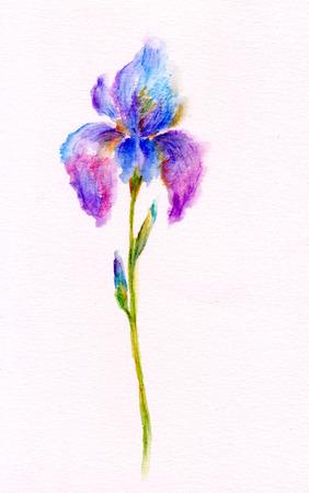 iris flower: Watercolor illustration of Iris flower Stock Photo