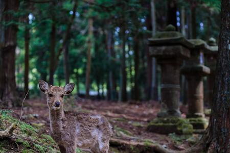 Deer  at kasuga-taisha , Nara in Japan