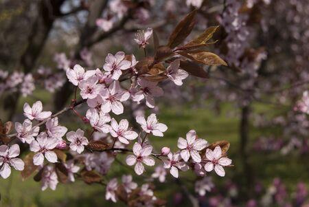 blooming: blooming tree