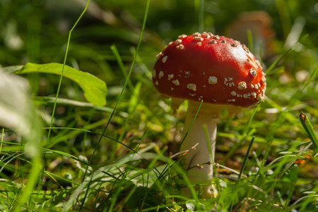 Red toadstool with white dots in the autumn sun