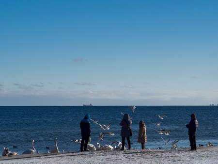 Swans, gulls and other water birds on the sunny winter shore of the Baltic Sea watched and fed by people walking along the shore