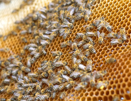 honeyed: Little bees working in the beehive