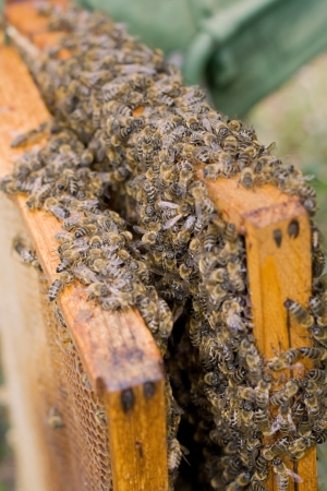 Many little bees working together photo