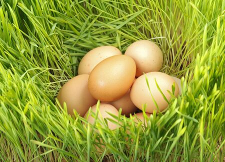 egg laying: Pile of chicken eggs between green fresh wheat