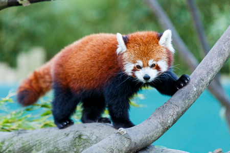 Photo of a cute red panda on the tree