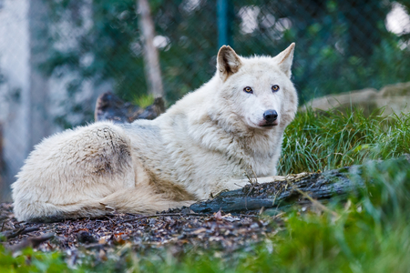 furred: Photo of a beautiful white wolf lying on the hill Stock Photo