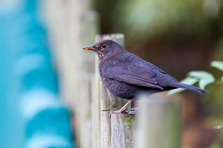 turdus: Photo of beautiful common blackbird looking at the camera