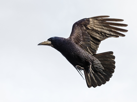 Photo of black crow flying with spread wings Stock Photo