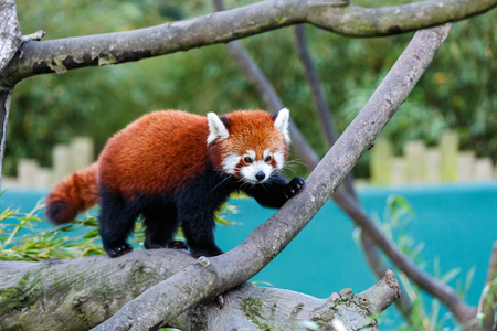 catlike: Photo of a cute red panda on the tree