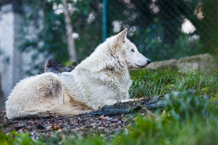perceptive: Photo of a beautiful white wolf lying on the hill Stock Photo