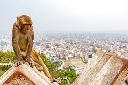 Rhesus Monkey and Kathmandu cityscape at the background Stock Photo