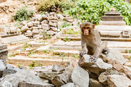sociable: Photo of a rhesus monkey sitting on the ruins Stock Photo