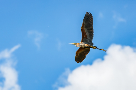 migrate: Photo of a flying beautiful purple heron Stock Photo