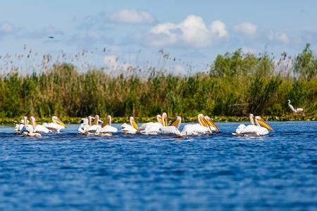 danube delta: Landscape photo of white pelicans in Danube Delta