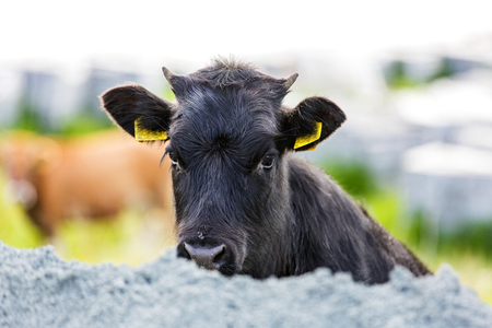 Portrait photo of a cute black calf