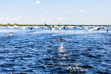 danube delta: Landscape photo of flying water birds in Danube Delta
