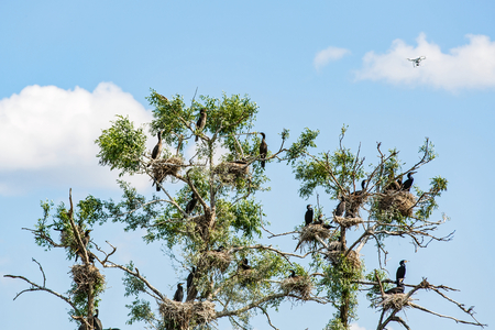 dried up: Photo of nesting great cormorants on dried up tree in Danube Delta