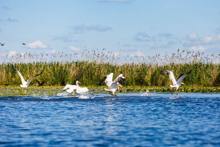 Landscape photo of white pelicans in Danube Delta