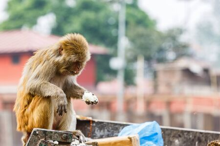 Photo of rhesus monkey looking for food
