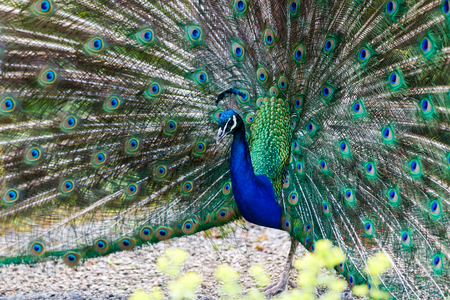 tail fan: Photo of beautiful peacock with colorful feathers Stock Photo