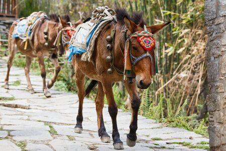 Photo of himalayan horse caravan transporting goods Stock Photo