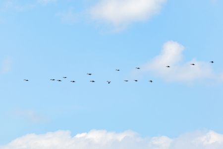 flocking: Landscape photo of flying white pelicans under the cloudy blue sky Stock Photo