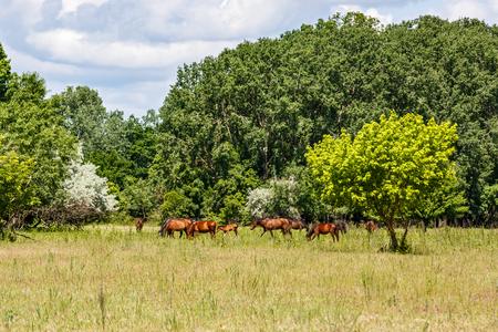 Landscape photo of wild horses in Letea Forest Stock Photo