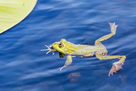 Sluit omhoog foto van groene stierenkikker in het water Stockfoto - 80437005