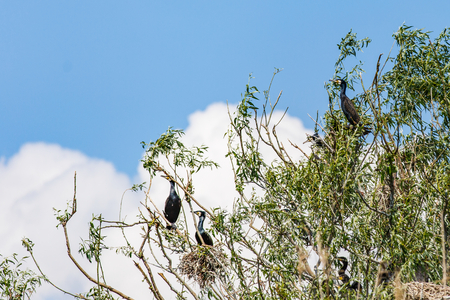 Photo of nesting great cormorants on dried up tree in Danube Delta
