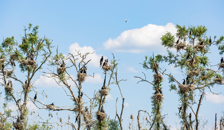 cormorants: Photo of nesting great cormorants on dried up tree in Danube Delta
