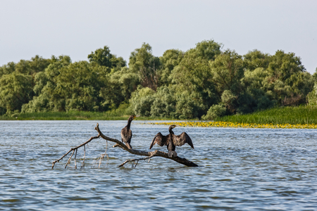 cormorants: Great cormorants standing on tree branch and drying after fishing