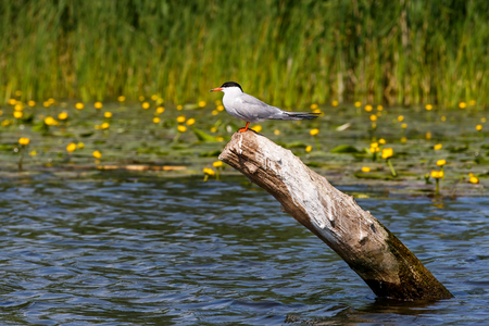 common reed: Photo of cute common tern sitting on a branch Stock Photo