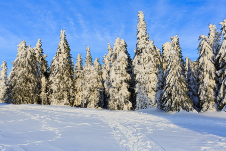 wintertime: Photo of snowy pine tree in wintertime