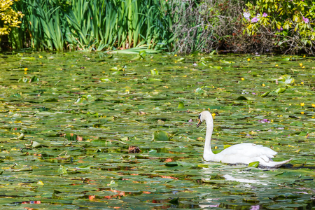 Beautiful white swan floating on the river Stock Photo