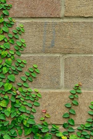 creeping plant: The climbing fig on the wall