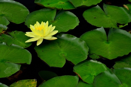 Beautiful blooming yellow water lilly photo