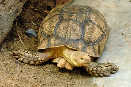 land turtle: The land turtle crawling on the ground.
