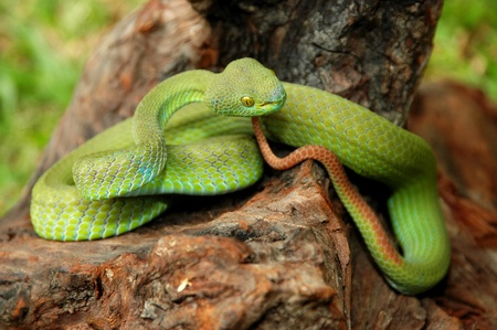 Portrait of Green pit viper in Thailand. photo