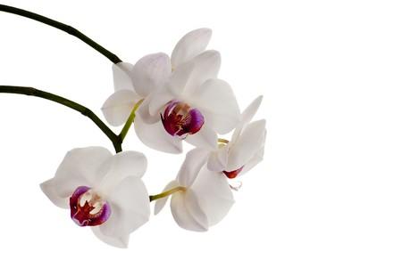 hermosas flores de orqu�deas blancas sobre un fondo blanco  Foto de archivo