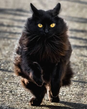 A black cat with yellow eyes is running in Ticino, Switzerland, in a sunny day. Concrete background