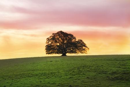feuille de vigne: Arbre de Fig solitaire Moreton Bay au coucher du soleil seul dans un grand champ  Banque d'images