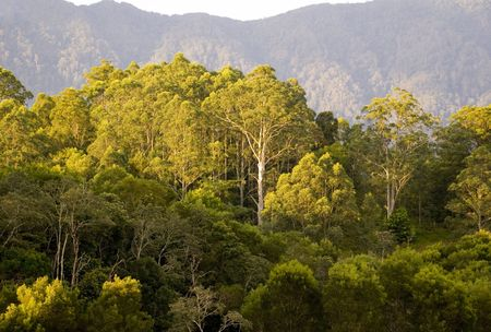 promised: a gum tree features on a mountain side in the australian bush