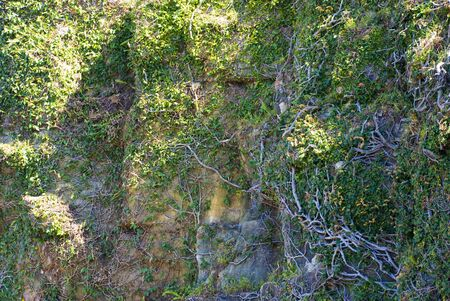 entwine: thick vines cover a rocky cliff  in Sydney Australia