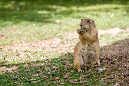 Black-tailed prairie gopher dog eating a nut Foto de archivo