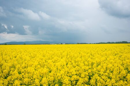 Mustard field on the background of cloudy sky